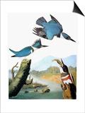 Audubon: Kingfisher
