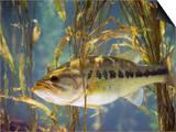 Largemouth Bass (Micropterus Salmoides)  the Georgia  Usa State Animal