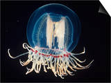 Bell Jellyfish  Polyorchis  Pacific Coast of North America