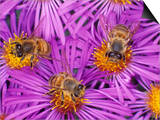 Honey Bees  Apis Mellifera  Pollinating New England Aster Flowers