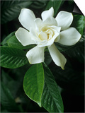 Gardenia or Cape Jasmine Flower (Gardenia Jasminoides)
