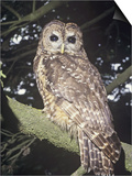 Spotted Owl (Strix Occidentalis)  a Near Threatened Species  Western North America