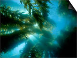 Sunlight Streaming Through a Forest of Giant Kelp (Macrocystis Pyrifera) Off Catalina Island
