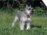 Miniature Schnauzer Variety of Domestic Dog
