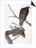 Audubon: Red-Tailed Hawk