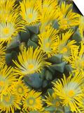 Living Rock or Stone Plants  Pleiospilos Peersii  in Bloom  South Africa