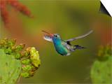Broad-Billed Hummingbird (Cynanthus Latirostris) Approaching a Prickly Pear Cactus Bloom