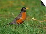 American Robin  Turdus Migratorius  North America
