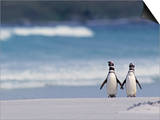 Magellanic Penguin Couple  Spheniscus Magellanicus  Falkland Islands