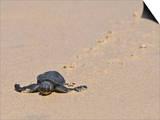 Green Sea Turtle Hatchling (Chelonia Mydas Agassizi)  Galapagos Islands