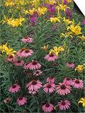 Purple Coneflowers  Echinacea Purpurea  and Daylilies  Hemerocallis  in a Garden