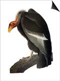 Audubon: Condor