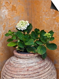 Flower in Pot  Crete  Greece
