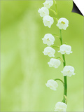 Lily of the Valley Flowers (Convallaria Majalis)  Eastern USA