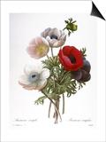 Redoute: Anemone  1833