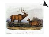 American Elk  1846