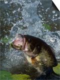 Largemouth Bass  Plastic Lure  Lily Pads