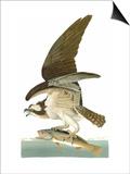 Audubon: Osprey