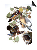 Audubon: Duck