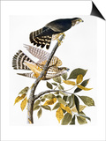 Audubon: Hawk
