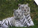 White Bengal Tigers  Panthera Tigris  Asia