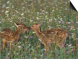 Two White-Tailed Deer Fawns in Wildflower Meadow  Odocoileus Virginianus  North America