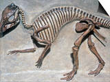 Good Mother Dinosaur Skeleton (Maiasaura Peeblesorum)  Cretaceous Period  75 MYA  Montana  USA