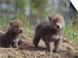 Coyote Pups at their Den Opening  Canis Latrans  North America