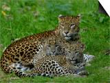 Sri Lankan Leopard (Panthera Pardus Kotiya) Mother with Cubs  Captive