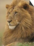 An Adult Male Lion  Panthera Leo  Masai Mara Game Reserve  Kenya  Africa