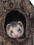 European Ferret  Mustela Furo  a Common Pet