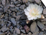 Bitterroot Flower  Lewisia Rediviva  the Montana State Flower  USA