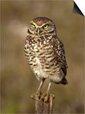 Burrowing Owl (Athene Cunicularia)  Cape Coral  Florida  USA