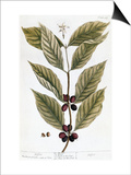 Cooffe Plant  1735