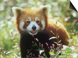 Red Panda (Ailurus Fulgens) an Endangered Species  Himalayas
