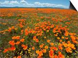 California Poppy (Eschscholzia Californica)  Antelope Valley Poppy Reserve Near Lancaster