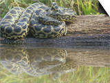 Yellow Anaconda (Eunectes Notaeus)  Northern Argentina