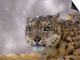 Snow Leopard Head in a Snowstorm (Panthera Uncia)  Captive