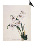 Botanical Watercolour: Orchid  Odontoglossum Cervantesii