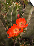 Claret Cup Cactus Flower (Echinocereus Triglochidiatus)  Sonoran Desert  Arizona  USA