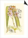 Orchid Plenty V