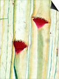 Cucurbita Plant Stem Showing Phloem and Sieve Plates