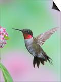 Male Ruby-Throated Hummingbird (Archilochus Colubris) at Swamp Milkweed