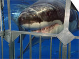 Great White Shark Attacking a Shark Cage (Carcharodon Carcharias)  Guadalupe Island  Mexico