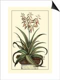 Antique Munting Aloe III