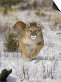 A Puma  Cougar or Mountain Lion  Running Through the Snow  Felis Concolor  North America