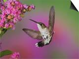 Juvenile Male Ruby-Throated Hummingbird in Flight Near a Flower (Archilochus Colubris)  Eastern USA