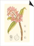 Orchid Plenty III