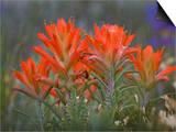 Indian Paintbrush (Castilleja)  Sangre De Cristo Mountains  Colorado  USA