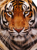 Bengal Tiger Face  Panthera Tigris  Asia